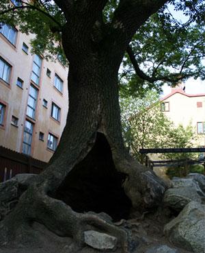 Ihåligt träd i Ivar Los park